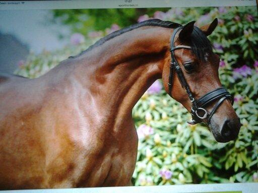 Verbazingwekkend te koop 4,5 jarige welsh d pony merrie - PaardenHandelaren.com BH-56