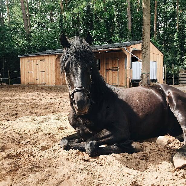 Wonderbaar 5 jarige welsh cob hengst - PaardenHandelaren.com SV-51